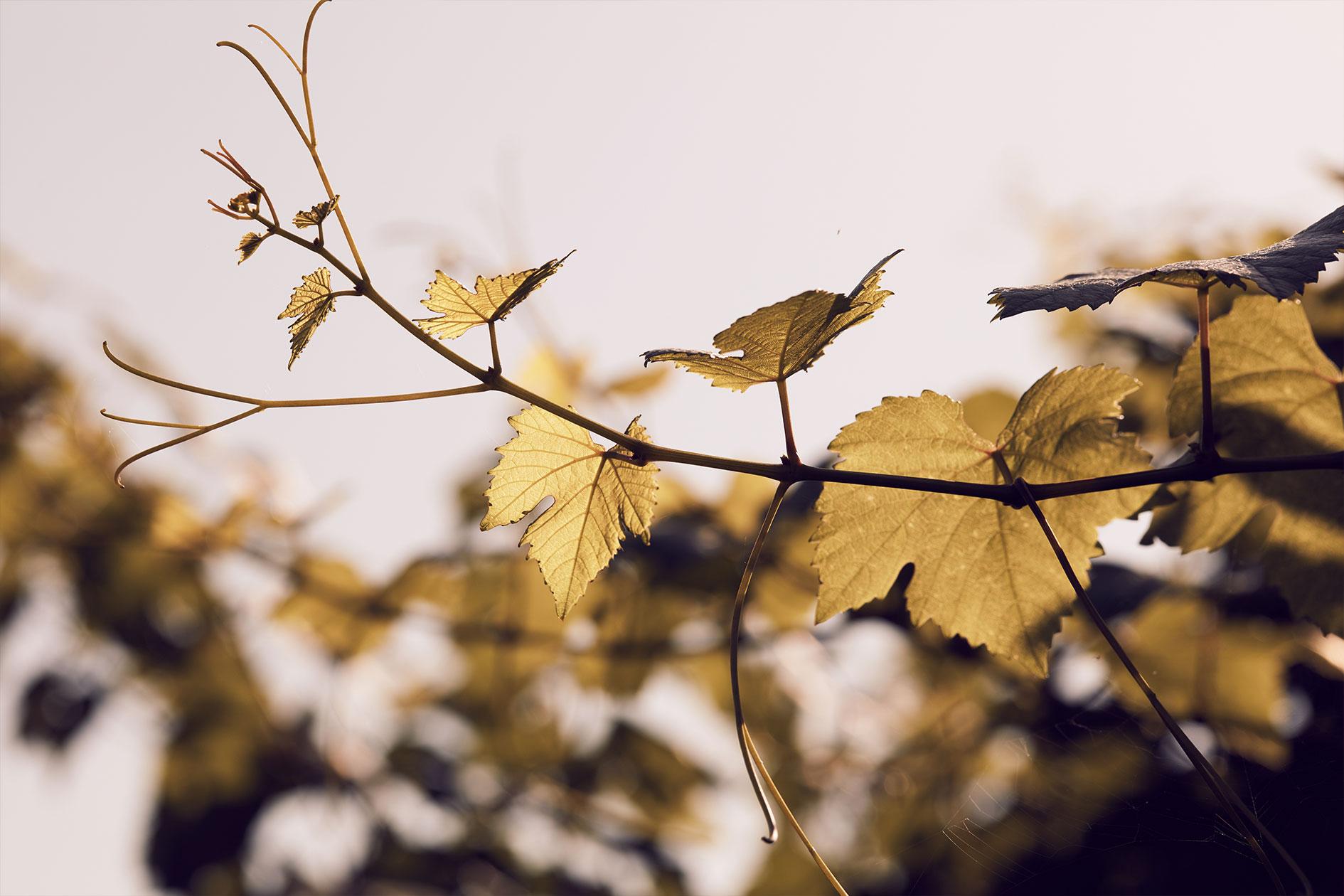 Vom Winterschnitt bis zur Ernte der ausgereiften Trauben arbeiten wir mit der Natur zusammen.